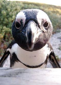 Penguin in South Africa Penguin Bird, Penguin Love, Cute Penguins, Galapagos Penguin, Baby Animals, Cute Animals, African Penguin, Boulder Beach, Flightless Bird