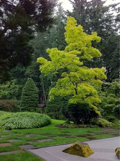 Bloedel Reserve, Bainbridge Island – a short ferry ride from downtown Seattle. (with Robinia psuedoacacia 'Aurea'):