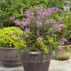 Lilac in pot