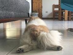 Panza am piso porque caloooor! #cousteauelperroconpersonalidad