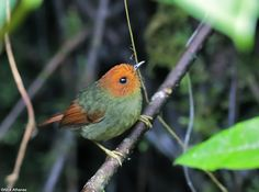 Rufous-headed Pygmy-Tyrant - Pseudotriccus ruficeps