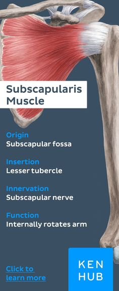 The subscapularis is part of the rotator cuff. Pin and revise the #anatomy of this muscle for your next exam!