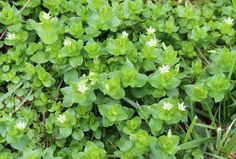 Kentucky Forager | A Walk Around the Yard: April (Part 1) Chickweed