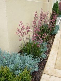 Narrow garden bed featuring Anigozanthos 'Pink Joey' (Pink Joey kangaroo paws) w. - Narrow garden bed featuring Anigozanthos 'Pink Joey' (Pink Joey kangaroo paws) with Senecio man - Seiten Yards, Front Flower Beds, Front Yard Flowers, Flower Bed Designs, Flower Ideas, Australian Native Garden, Narrow Garden, Drought Tolerant Garden, Drought Resistant Plants