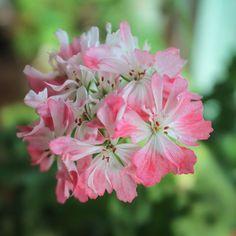 Pamela Vaughan #pamelavaughan #pelargonium #pelargoner #stellar #pelargon #pelargoni