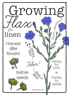 Flax has beautiful flowers and makes a light, summery cloth. Share your flax growing knowledge on the forums!