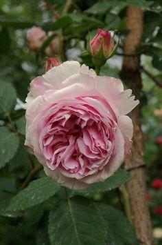Rosa 'Glarona' (Germany before 1913)