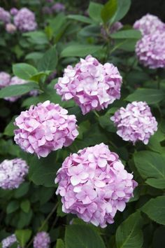 Here's how to avoid that nasty brown coloring. If you notice brown coloring creeping up on your flowers, they might be planted in too sunny of a location in your yard. Even though it's too late to move them this season, try putting a layer of mulch around Hydrangea Garden, Garden Shrubs, Shade Garden, Garden Plants, Pink Hydrangea, Pink Petals, My Secret Garden, Front Yard Landscaping, Plant Care