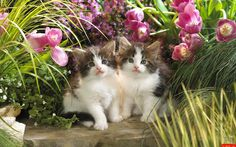 Kittens in the tulip garden Animal HD desktop wallpaper, Cat wallpaper, Tulip wallpaper, Kitten wallpaper - Animals no. I Love Cats, Crazy Cats, Cool Cats, Kitten Wallpaper, Animal Wallpaper, Cute Little Kittens, Cute Kittens, Kittens And Puppies, Cats And Kittens