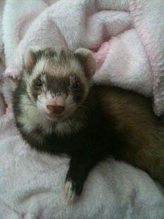 My 2009-model ferret Zeke. View more pics of my ferrets in my Picasa album: https://picasaweb.google.com/111319666776508973469/Ferrets?authuser=0&feat=directlink