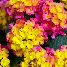If you're into bold colors this is your year! (See our gardening trends in our profile link) . . . #monroviaplants #monrovianursery #GrowBeautifully #Lantana #BandanaRoseImprovedLantana #LantanaCamara #GardeningTrend #gardenlovers #lovegardening #gardening #garden #gardenlifestyle #gardendesign #plants #plantvibes #landscape #Plantsofinstagram #GardenersofInstagram #instagardenlovers #SpringGarden