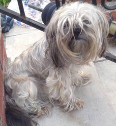Lost Dog - Shih Tzu in JAMAICA, NY      Pet Name:Roxi (ID# 96311) Gender:Female Breed:Shih Tzu Breed 2:Yorkshire Terrier Color:Silver/Grey Color 2:Black Pet Size:X-Small (2-9lbs) Pet Age:4 years Date Lost:06/15/2015 Zip Code:11434 (JAMAICA, NY) See All Lost Dogs In JAMAICA, NY
