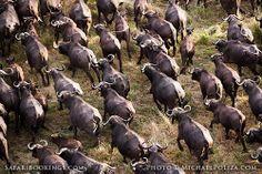 Herd of #buffalo ( #Okavango Delta, Botswana) - #Botswana travel guide: http://www.safaribookings.com/botswana