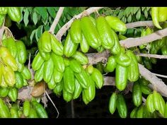 Rare 4 seeds tree has pickles (Averrhoa bilimbi) seeds seeds semi semilla Horticulture, Air Layering, Yellow Fruit, Home Garden Plants, Lemon Essential Oils, Back To Nature, Planting Seeds, Growing Plants, Food Items