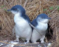 Pingüinos ◘ Y si hablamos de pingüinos azules, aquí les presentamos una pareja. Esta es la especia más pequeña de pingüinos, con tamaños que rondan los 40 cm de largo, y un peso aproximado de tan solo 1 kg.