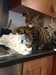 My cat has done this. the towel roll was on top of the fridge and she knocked it down and shredded it XD