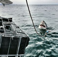 Happy #sharkweek to our white shark conservation volunteers and Oceans Research interns.