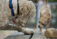 In dogs' play, researchers see honesty and deceit, perhaps something like morality