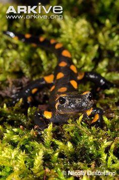 Common fire salamander on moss