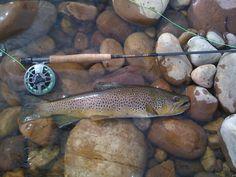 brown trout #fishing #flyfishing