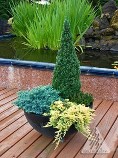 Dwarf Conifer Arrangement.  Dwarf Alberta spruce contrasts nicely with a draping yellow juniper and a stout dwarf mugo pine.