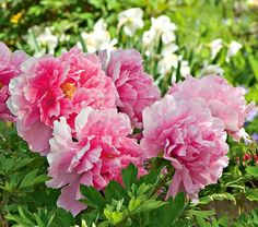 This exceptionally vigorous Tree Peony, sometimes called the Age of Saint, produces lots of 6–8″, semidouble blooms in May and June. They're a blend of soft pink with darker tones.The Tree Peony is one of the most glorious shrubs available to American gardeners. Its huge, silky flowers are similar to those of herbaceous Peonies, but the range of color runs from pure white through pinks and reds into lavender and yellow. Mature plants reach 4–5′ and carry up to 50 of these exquisite…