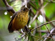 Foto pinto-do-mato (Hylopezus nattereri) por Emerson Kaseker | Wiki Aves - A Enciclopédia das Aves do Brasil