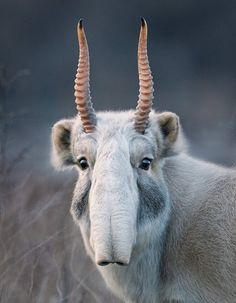 The critically endangered saiga, not an imaginary, mythical creature, though possibly the inspiration for one! Photo: Tim Flach