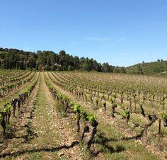 Au Mas de Bouisson, les vignes du Domaine de Saumarez au printemps, avril 2014. Murviel-lès- Montpellier.