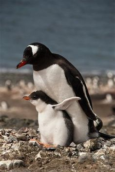 Mama and penguin chick