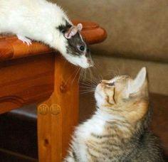 Un Chat surpris de trouver un Rat sur la table du salon !!