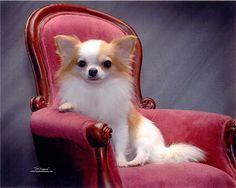 Chihuahua champion