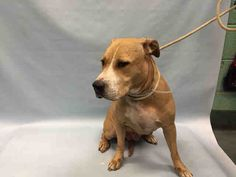 EASTERN - #A1070188 - Urgent Brooklyn - FEMALE TAN/WHITE PIT BULL 2 Yrs - STRAY - NO HOLD Intake 04/13/16 Due Out 04/16/16 - VERY TENSE AND NERVOUS BUT NO SIGNS OF AGGRESSION