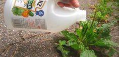 El vinagre es uno de los productos más versátiles que podemos tener en nuestra cocina. A parte de su uso para condimentar los alimentos, este producto sirve para muchas cosas más. Uno de esos usos, es para mantener nuestro jardín impecable. A diferencia de los fertilizantes comerciales, el vinagre no le hace daño al medio …