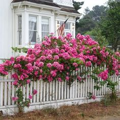 I want my new fence with climbing roses to look like this, except with a green fence...