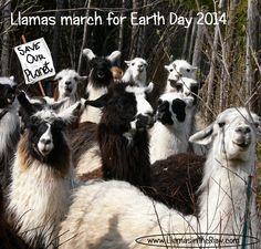Llamas March for Earth (Natural Fiber) Day 2014   www.llamasintheraw.com