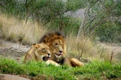 """""""Kato, our adventurous little cubs are wandering off again. Isn't it your turn?"""" asked Mama lion.""""  """"Nope, not mine."""""""