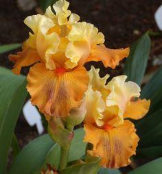 TB Iris germanica 'Fixation' (Ghio, 2008)