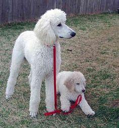 French Poodles, se parecen a mi bolita y a mi malteada
