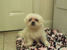Petfinder  Adoptable | Dog | Maltese | Houston, TX | Dolly - Dolly is a sweet, 12 lb. senior maltese that needs a quiet home for her remaining years. Her owner passed away and the family members were going to send her off to a shelter, so For Peetey's Sake stepped in. Dolly is deaf and can only see shadows. She is perfectly healthy except for having to take thyroid medication...