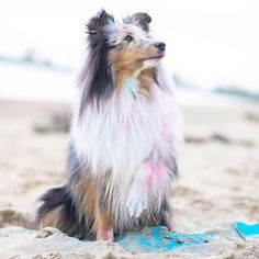 @littleblueheart_ (It's plagiarism if you repost this image without citing & crediting the repost to this  proper owner. Again if you do not cite its plagiarism) ____ How to be featured: 1. Follow @herdingdogfever 2. Turn on post notifications 3. Hashtag to #HerdingDogFever ____ #miniaussie #aussiesofinstagram #redmerle #dogsofinstagram #petstagram #australianshepherd #dogoftheday #doglover #servicedog #aplacetolovedogs #dogfeaturing #collies #sendadogphoto #lacyandpaws #bordercollie…