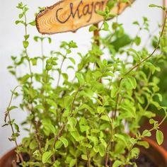 10 pravidel úspěšného pěstováváni majoránky, aromatického koření a léčivky. Recepty proti kašli, na uklidnění, zlepšení trávení a bolesti hlavyí Korn, Pesto, Plants, Plant, Planets