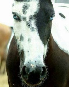 black and white horses. and omg blue eyes All The Pretty Horses, Beautiful Horses, Animals Beautiful, Beautiful Eyes, Amazing Eyes, Simply Beautiful, Amor Animal, Mundo Animal, Horse Pictures