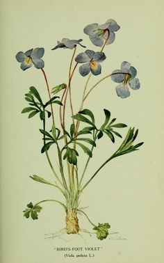 Violets,  Biodiversity Heritage Library