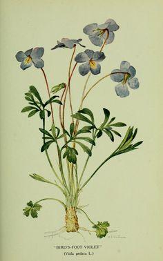 Violets,  Biodiversity Heritage Library
