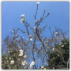 【cecil_chocolate】さんのInstagramをピンしています。 《♪ ♪ ジュウガツザクラ… Prunus × subhirtella 'Autumnalis' 10月桜に出会えました…♡ ♪ もう少ししたら見頃ですね🌸 ♪ #iPhone6 #tagram_jp #lovers_nippon #smile #笑顔 #tokyo #japan #東京 #日本 #tokyocameraclub #flowerstagram #flowers #花 #皇居 #10月桜 #桜 #prunus× subhirtella 'Autumnalis' #連投すみません》
