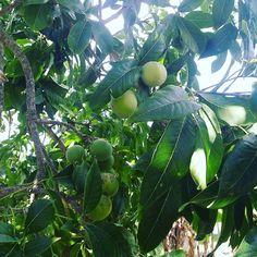 Miren que rara son las peras dominicana #apple #pera #frutas #campo #camerondallas #naturaleza#natural #frutasvermelhas