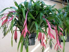 Billbergia Nutans Queens Tears | Having the common name of ' Queen Tear ' and a synonym of ...