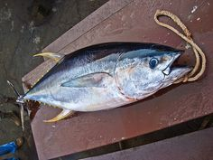 tuna me up Yellowfin Tuna, Gone Fishing, Poker Chips, Outdoor Life, Pj, Paintings, Spaces, Dinner, Future
