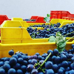 First #PinotNoir #grapes. #2016harvest #newwinery. #PinotNero #Valdobbiadene #ilsettolo #wine #winelover